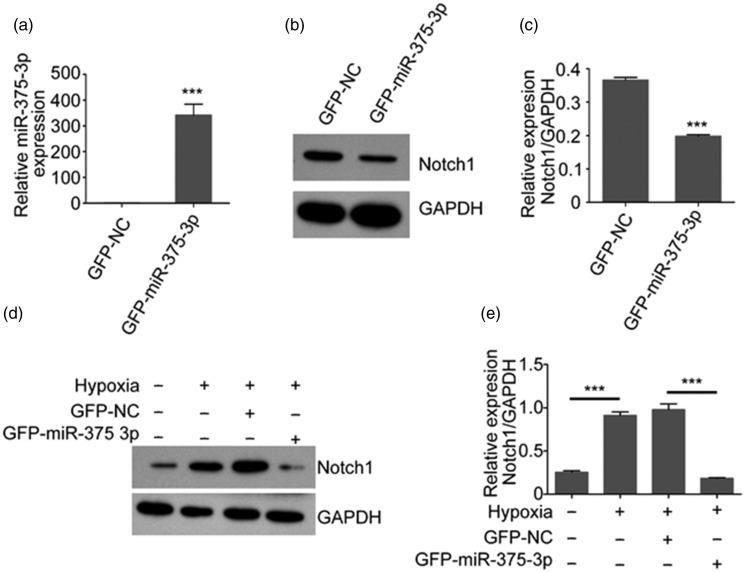 MiR-375-3p negatively regulated the expression of Notch1 upon hypoxia in PMECs. (a) Quantitative PCR of miR-375-3p expression in PMECs transfected with GFP-NC or GFP-miR-375-3p lentivirus. (b) Immunoblotting of Notch1 protein expression in PMECs transfected with GFP-NC or GFP-miR-375-3p lentivirus. (c) The relative expression of Notch1 in (b) was quantified and normalized to that of GAPDH. (d) Immunoblotting of Notch1 expression in PMECs transfected with GFP-NC or GFP-miR-375-3p lentivirus and subjected to normoxic or hypoxic conditions. (e) The relative expression of Notch1 in (d) was quantified and normalized to that of GAPDH. Data represent the mean ± SD, n = 6. *** P