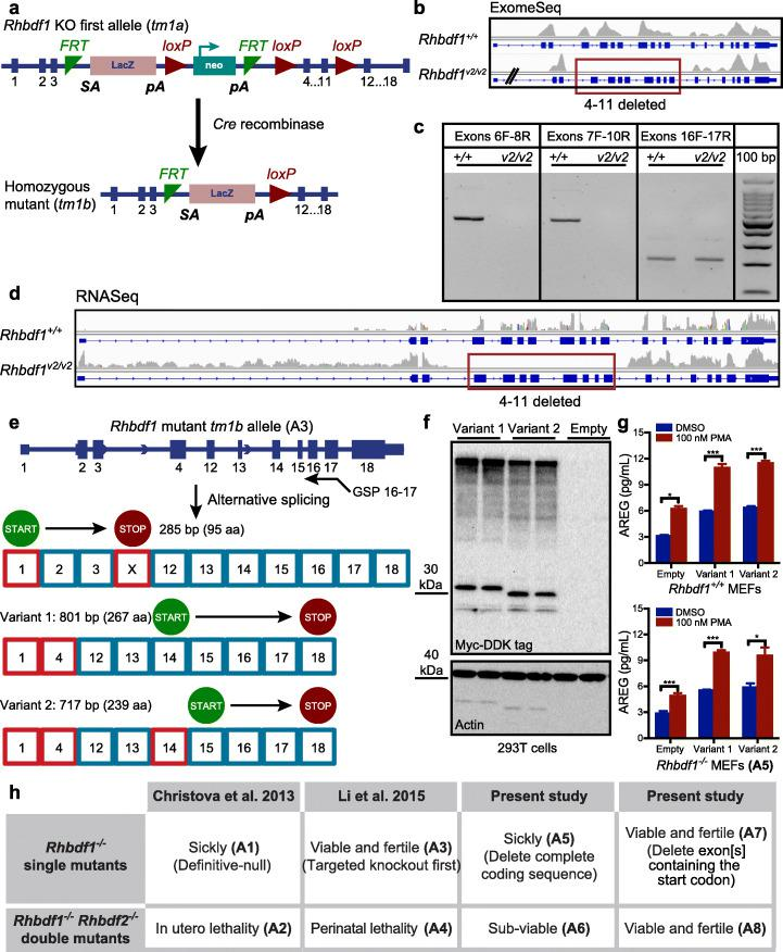 """Targeted KO-first targeting strategy in Rhbdf1 (A3) generates novel transcripts and N-terminally truncated functional proteins. a Schematic of the strategy used by Li et al. for generation of Rhbdf1 −/− homozygous mutant mice; the Rhbdf1 KO-first allele was crossed to Cre transgenic mice to excise the floxed gene segment (exons 4–11), generating Rhbdf1 −/− homozygous mutant mice (hereafter referred as viable2 mice, Rhbdf1 v2/v2 mice). b Whole-exome sequencing of spleen tissue from Rhbdf1 v2/v2 mice showing loss of exons 4 through 11 in Rhbdf1 v2/v2 mutant mice. c RT-PCR on spleens from Rhbdf1 +/+ and Rhbdf1 v2/v2 mutant mice using primers to amplify exons 6 through 8, exons 7 through 10, and exons 16 and 17. Exons 4–11 are deleted in Rhbdf1 v2/v2 mutant mice; hence, no amplicons were generated using either exon 6 forward and exon 8 reverse, or exon 7 forward and exon 10 reverse, primers. However, exon 16 forward and exon 17 reverse primers generated a 211-bp product. d RNA-Seq analysis of spleens from Rhbdf1 v2/v2 mutant mice indicating loss of exons 4 through 11; however, there is strong evidence for mutant mRNA, as indicated by the presence of the rest of the transcript, which encodes exons 12 through 18 and is not degraded by the nonsense-mediated decay mechanism. e Schematic representation of exons and introns in the Rhbdf1 v2/v2 mutant allele. 5′ RACE using a gene-specific exon 16–17 fusion primer (GSP) was used to obtain 5′ ends of the Rhbdf1 v2/v2 mutant mRNA. We identified several novel mutant mRNAs with different translation initiation sites that could potentially generate N-terminally truncated RHBDF1 mutant proteins. See supplemental figures for variant protein and 5′ UTR sequences. Alternative exons are indicated as red boxes; predicted translation initiation sites are indicated by """"START,"""" and termination codons are indicated by """"STOP."""" f C-terminal Myc-DDK-tagged Rhbdf1 v2/v2 variant protein 1 (lanes 1, 2) or variant protein 2 (lanes 3,4), or empty vec"""