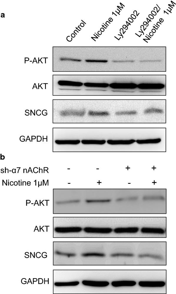 The α7-nAChR/AKT pathway is involved in nicotine-induced SNCG expression. a OEC-M1 cells were pretreated with or without 40 μM PI3K/AKT inhibitor then treated with or without 1 μM nicotine for 24 h. Total proteins were harvested and subjected to Western blot analysis of P-AKT, total AKT, and SNCG expression. GAPDH was also detected as loading control. b OEC-M1 cells with or without α7 nAChR knockdown were plated in cell culture dishes and treated with or without 1 μM nicotine for 24 h. The cell lysates were harvested and subjected to Western blot analysis of P-AKT, total AKT, and SNCG expression