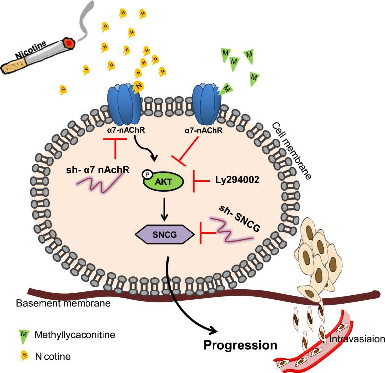 The summary model is depicted by which nicotine binds to α7-nAChRs to activate PI3/AKT signaling, thereby upregulating SNCG expression, and this effect was suppressed when α7-nAChR was knocked down or inhibited