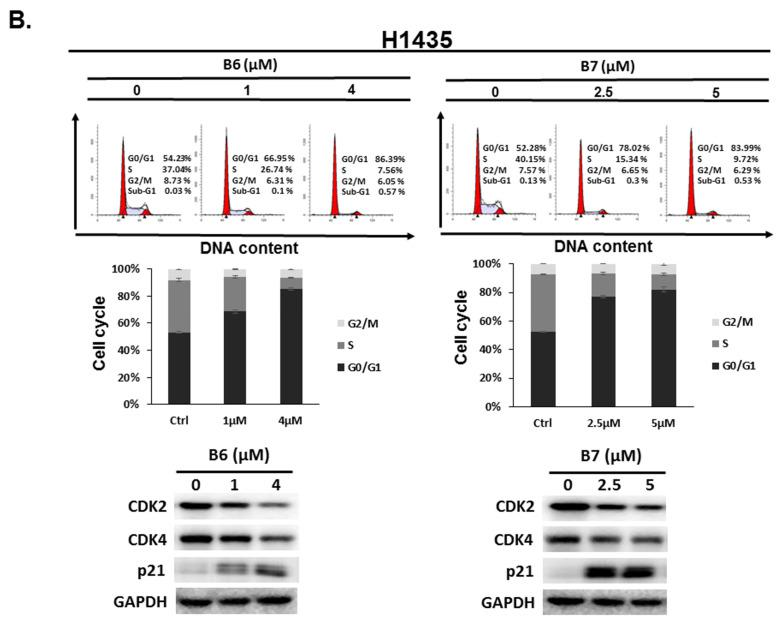 Cell cycle profile for in non-small-cell lung cancer cells after incubation with B6 and B7. ( A ) A549 and ( B ) H1435 cells were incubated with control medium or B6 and B7 for 24 h, and the cell cycle was examined with FACS flow cytometry. Additionally, the total cell lysate was isolated and the expressions of CDK2, CDK4, and p21 were verified with western blotting. DMSO was used as a negative control. GAPDH was used as a loading control. Three independent experiments were conducted.