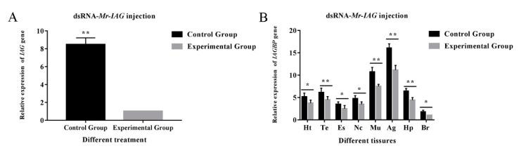Effects of dsRNA- Mr - IAG injection. ( A ) Effect of Mr - IAG dsRNA on Mr - IAG mRNA levels in the androgenic gland. ( B ) Effects of Mr - IAG dsRNA on Mr - IAGBP mRNA levels revealed by qRT-PCR in different tissues. Mr - IAG and Mr - IAGBP mRNA levels were normalized to β-actin. The tissues included: heart (Ht), testis (Te), eyestalk (Es), nerve cord (Nc), muscle (Mu), androgenic gland (Ag), hepatopancreas (Hp), and brain (Br). qRT-PCR data are shown as means ± SE (standard error). ∗ p