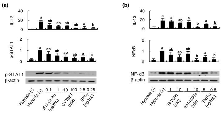 Hypoxic endothelial cells activate the MSCs intracellular signaling pathways of IFN-γ and TNF-α. The culture media obtained from endothelial cells subjected to hypoxia for 4 h were used for culturing HCELL-positive MSCs in the presence of the inhibitors of signaling pathways of IFN-γ ( a ) and TNF-α (b), whereas those from intact endothelial cells were used for assessing recombinant IFN-γ ( a ) and TNF-α ( b ) stimulation. After 24 hours' culture in the depicted experimental settings, MSCs pellets were subjected to Western blotting to measure <t>p-STAT1</t> and NF-κB for assessing IFN-γ and TNF-α pathway activation respectively, while the supernatant was used to measure IL-13 level with ELISA. The representative Western blottings are shown. The quantitative results of Western blotting were adjusted according to β-actin level. n = 8 in each group; a, p
