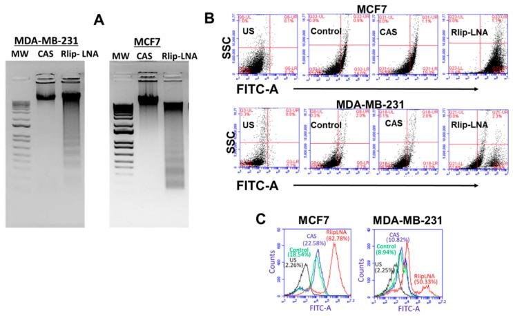 Effect of Rlip-LNA on apoptosis and DNA fragmentation in MDA-MB-231 and MCF7 cells as measured by terminal deoxynucleotidyl transferase dUTP nick end labeling (TUNEL) and DNA laddering assays. ( A ) Apoptosis by DNA laddering. After 48 h of treatment with CAS or Rlip-LNA, DNA was extracted and subjected to agarose-gel electrophoresis in 2% agarose with a 1 kB DNA ladder. <t>Ethidium-bromide-stained</t> gels were visualized and photographed under 260 nm UV light. ( B , C ) Effect of Rlip depletion on DNA fragmentation in MDA-MB-231 and MCF7 cells as measured by TUNEL. Cells were transfected with Rlip-LNA or control antisense (CAS) for 24 hours, as described in the Materials and Methods. After Rlip depletion, the apoptotic intensity was determined by flow cytometric TUNEL assay. ( B ) Logarithmic dot plots show the percentage of TUNEL-positive cells in different groups (US = unstained) as measured by flow cytometry. Viable cells were identified by gating on forward and side scatters. ( C ) The overlapped peaks (logarithmic histogram) demonstrate the effects as a whole and are expressed as the fluorescence intensity of the number of counts of the TUNEL-positive cells obtained from the statistical analysis of the fluorescence height and mean value of the x-axis displayed by the software. The fluorescence level for discrimination between apoptotic and nonapoptotic cells was set using the control without TdT (terminal deoxynucleotidyl transferase). Cells above this fluorescence value in the TdT-positive sample were considered apoptotic. Analysis was performed using the BD CSampler software (BD Biosciences). At least 10,000 cells were analyzed per staining. Data were obtained from three independent experiments.