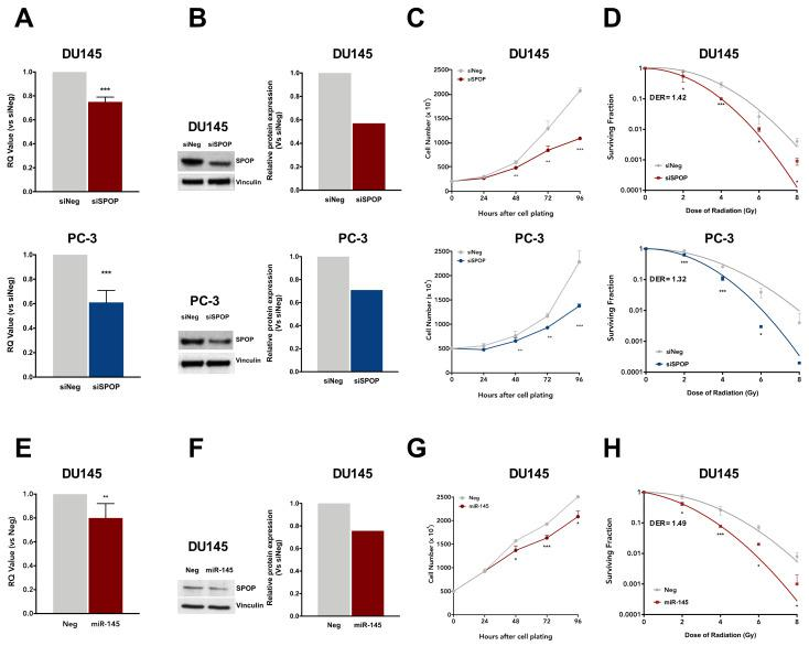 SPOP knockdown, through siRNA-SPOP (siSPOP) or miR-145 transfection, enhances cell response to radiation. ( A ) qRT-PCR detection of SPOP transcript levels in DU145 (upper panel) or PC-3 (lower panel) at 48 h upon transfection with siSPOP, compared to control cells, normalized to GAPDH. Data are reported as relative quantity (RQ) ± SD with respect to siNeg transfectants. ( B ) Western blot analysis and relative quantification of SPOP protein levels in DU145 and PC-3 cells at 48 h upon siSPOP transfection. Vinculin was used as endogenous control. ( C ) Cell proliferation curves of siNeg and siSPOP at 24, 48, 72 and 96 h upon transfection. Data are indicated as number of cells ×10 3 and are reported as mean ± SD values ( n = 3). ( D ) Clonogenic cell survival of DU145 and PC-3 cells upon transfection with siNeg or siSPOP. The surviving fractions are reported as mean ± SD values from three independent experiments. The dose enhancement ratio (DER) was calculated as the dose (Gy) for the radiation plus siSPOP divided by the dose (Gy) for radiation plus siNeg at a surviving fraction of 0.1. ( E ) qRT-PCR detection of SPOP transcript levels in DU145 cells at 48 h upon transfection with miR-145, compared to control cells, normalized to GAPDH. Data are reported as relative quantity (RQ) ± SD with respect to Neg cells. ( F ) Western blot analysis and relative quantification of SPOP protein levels in DU145 cells at 48 h upon miR-145 transfection. Vinculin was used as control. ( G ) Cell proliferation curves of Neg and miR-145 at 24, 48, 72 and 96 h upon transfection. Data are indicated as number of cells ×10 3 and are reported as mean ± SD values from three independent experiments. ( H ) Clonogenic cell survival of Neg or miR-145-transfected DU145 cells. The surviving fractions are reported as mean ± SD values from three independent experiments. The dose enhancement ratio (DER) was calculated as described above. The level of significance was represented as * p
