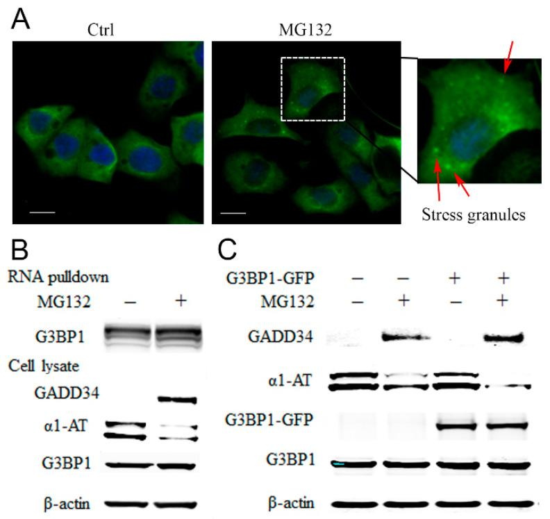 MG132 causes stress granule formation and promotes RNA binding proteins associated with α1AT mRNA. ( A ) C3A cells were plated on type I collagen-coated glass coverslips and treated with MG132 for 2 h. The cells were stained with G3BP1 antibody and mounted using the Prolong Gold Antifade reagent with DAPI. The positive G3BP1 puncta which represent stress granule were denoted by an arrow (Scale bar = 10 μm). ( B ) Biotinylated α1AT RNA incubated in 500 µg C3A cytoplasmic protein (Ctrl and MG132 treatment). The RNA-RBPs complex were pulled down with streptavidin agarose beads and applied for western blot analysis. ( C ) C3A cells were transiently transfected with empty vector or GFP tagged G3BP1 for 48 h and then treated with MG132. Cell lysates were analyzed by western blot analysis using indicated antibodies.