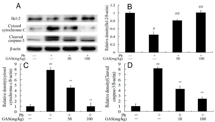 Gastrodin (GAS) inhibited Pb-induced apoptosis in the brain of mice. ( A ) Western blot analysis of the apoptosis-provoking proteins in the brain; ( B ) relative density analysis of the Bcl-2 protein bands; ( C ) relative density analysis of the cytochrome c in cytosol protein bands; ( D ) relative density analysis of the cleaved caspase-3 protein bands. β-actin was probed as an internal control in relative density analysis. The vehicle control is set as 1.0. Data are expressed as mean ± S.E.M. and representative of five independent experiments (individual animals). ## p