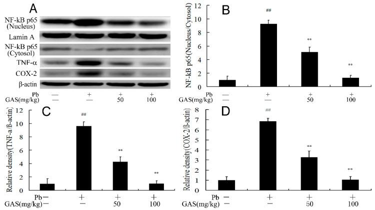 Gastrodin (GAS) inhibited Pb-induced inflammation in the brain of mice. ( A ) Western blot analysis of the apoptosis-related proteins in the brain; ( B ) relative density analysis of the NF-κB protein bands; ( C ) relative density analysis of the TNF-α protein bands; ( D ) relative density analysis of the COX-2 protein bands. β-actin was probed as an internal control in relative density analysis. The vehicle control is set as 1.0. Data are expressed as mean ± S.E.M. and representative of five independent experiments (individual animals). ## p