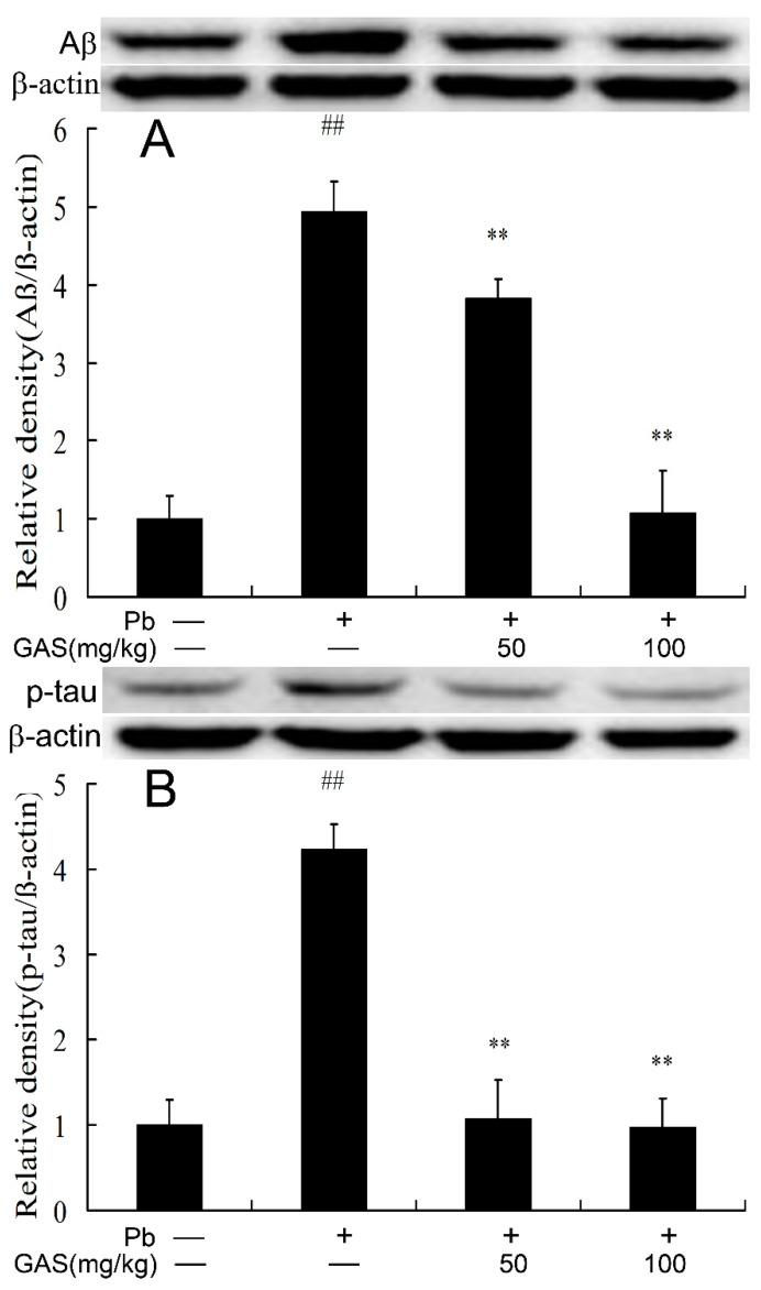 Gastrodin (GAS) reduced p-tau and Aβ accumulation in the brain of Pb-treated mice. ( A ) Relative density analysis of the Aβ protein in the brain; ( B ) relative density analysis of the p-tau protein bands. The vehicle control is set as 1.0. Total tau or β-actin were probed as an internal control in relative density analysis. The vehicle control is set as 1.0. Data are expressed as mean ± S.E.M. and representative of five independent experiments (individual animals). ## p