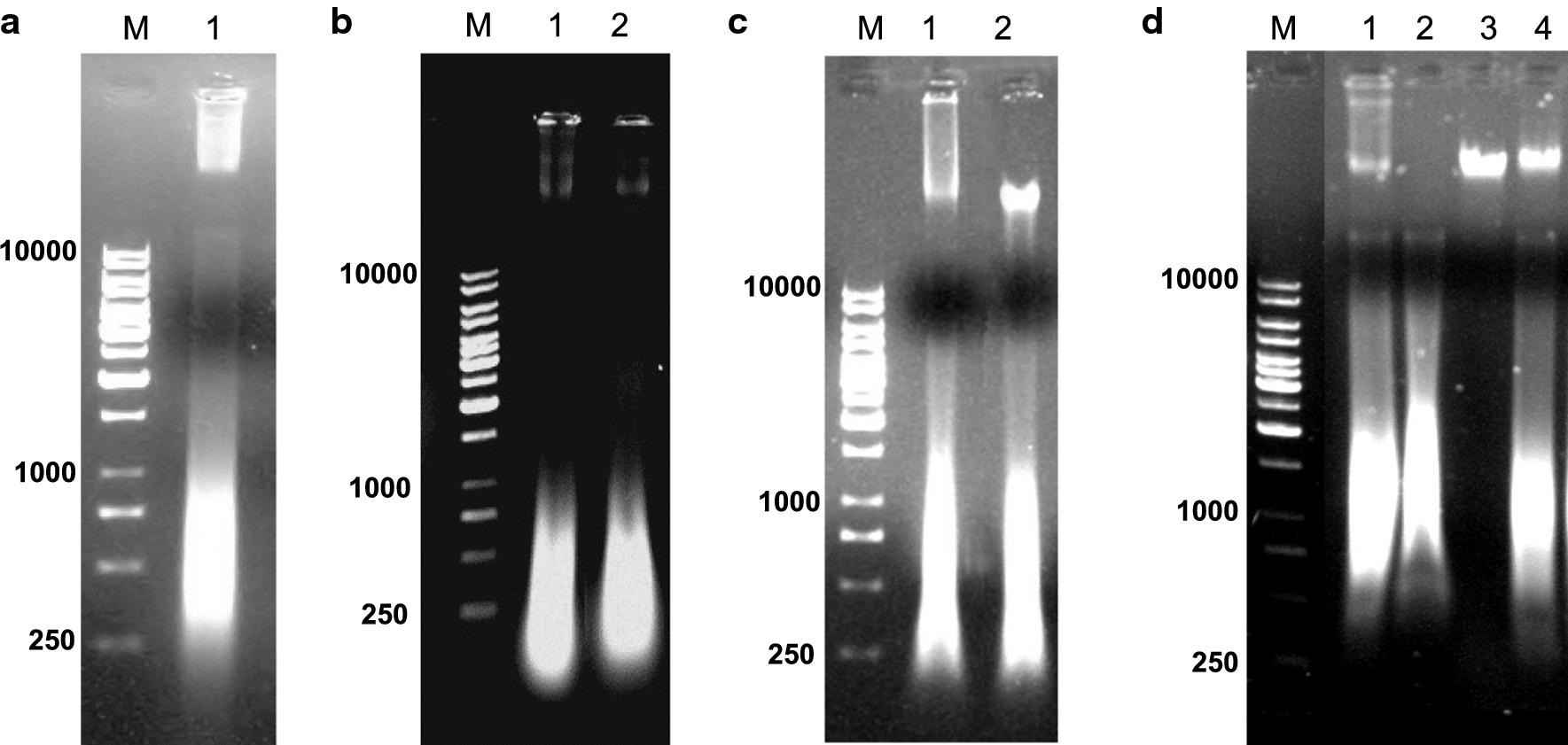 a Agarose gel-electrophoresis of nucleic acids isolated from purified hIFNγ IBs. 1 —Sample, isolated from IBs, b Agarose gel-electrophoresis of nucleic acids isolated from purified hIFNγ IBs treated with restriction endonuclease XhoI and c HindIII. 1 —Non-treated sample; 2(b) —Sample treated with XhoI; 2(c) —sample treated with HindIII; d Enzymatic digestion of nucleic acids isolated from purified hIFNγ IBs 1 —non treated sample; 2 —sample treated with mixture of RNase A and RNase T 1 ; 3 —sample treated with DNase I; 4 —sample treated with Proteinase K; M —Molecular weight marker, bp
