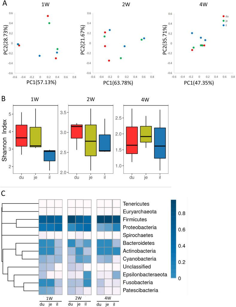 Analysis of intestinal microbe in different segments in the small intestine of healthy piglets. Intestinal contents from duodenum, jejunum, and ileum of 1-week-old, 2-week-old, and 4-week-old healthy piglets were collected and subjected to 16S rRNA sequencing. (A) NMDS analysis of the relative abundance of microbe in duodenum, jejunum, and ileum from a different age of piglets. (B) Shannon index of microbial diversity in duodenum, jejunum, and ileum from a different age of piglets. (C) Heatmap of bacterial distribution in the level of phylum.