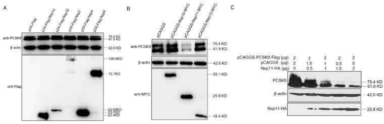 PRRSV nsp11 could inhibit PCSK9 expression. ( A and B ) PRRSV non-structural protein sequences including nsp1α, nsp1β, nsp2, nsp4, nsp9, nsp10, nsp11, and nsp12 were cloned into p3X-Flag or pCAGGS vectors with Flag or MYC tag. HEK-293T cells were cotransfected with pCAGGS-PCSK9-Flag (2 μg) and different nsp constructs (2 μg). At 36 hpt, cell lysates were collected and analyzed by WB for PCSK9 expression and nsp expression. ( C ) PCSK9 expression construct pCAGGS-PCSK9-Flag was cotransfected with different doses of an expression vector encoding nsp11. At 36 hpt, cell lysates were collected and analyzed by Western blotting.