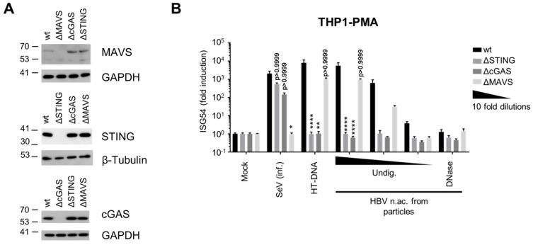 HBV DNA is sensed by the cGAS/STING pathway. ( A ) Genome editing of THP1 CRISPR/Cas9 KO for STING, cGAS or MAVS was controlled by Western Blot. ( B ) PMA-differentiated WT or KO THP1 cells were infected with SeV, transfected with HT-DNA (5 pg/cell) or with serial dilutions of undigested (Undig.) or DNAse-digested HBV nucleic acids (n.ac.) from particles. ISG54 mRNA fold induction to the mock was determined by RT-qPCR 24 h post-transfection. Average and SEM of three independent experiments in triplicates are shown. **** p