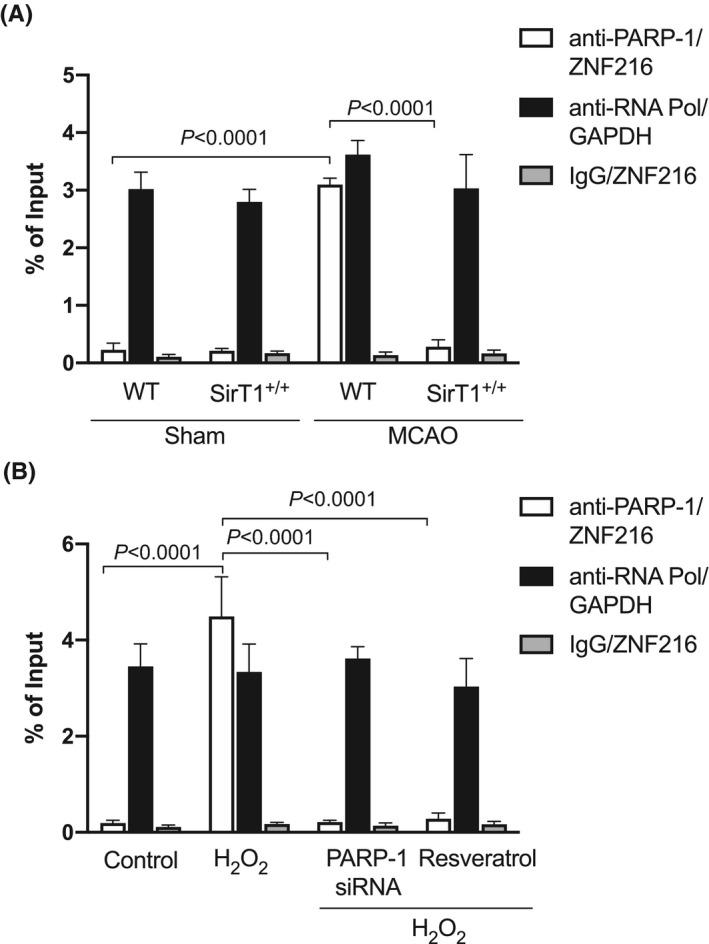 PARP‐1 binds on ZNF216 promoter. Male, ~20‐w old, SirT1 +/+ and their age‐matched WT (C57BL/6J) control mice were subjected to 60'MCAO or sham surgery followed by 3 d of reperfusion. B‐C, Chromatin was isolated from paretic tibialis anterior (PTA) or the corresponding TA (CTA) muscle of sham mice from WT and SirT1 +/+ mice (B) or PARP‐1 siRNA transfected myotubes treated with 125 μmol/L of H 2 O 2 with or without resveratrol (C) and precipitated with anti‐PARP‐1, anti‐RNA Poly II, or nonspecific IgG. qPCRs were performed with primers specific for ZNF216 or GAPDH. Values in each graph indicate the mean ± SEM (n = 3)