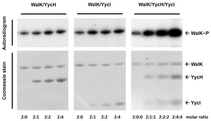 Activation of WalK autophosphorylation by YycH and YycI in phospholipid liposomes. WalK was reconstituted separately and with increasing amounts of YycH and/or YycI into phospholipid liposomes with molar ratios of 2:1, 2:2, and 2:4 for WalK(monomer)/YycH and WalK/YycI and 2:1:1, 2:2:2, and 2:4:4 for WalK/YycH/YycI. Autophosphorylation was started using [γ 32 P]-ATP and liposomes were loaded on a 10% <t>SDS-PAGE</t> gel. WalK with bound radiolabeled phosphate was visualized using a storage phosphor screen (top) and the gels were stained with Coomassie afterwards (bottom). Representative autoradiograms and Coomassie stained gels of three different experiments are shown. YycH and YycI increased the autophosphorylation of WalK, especially when both regulatory proteins were present in the liposomes.