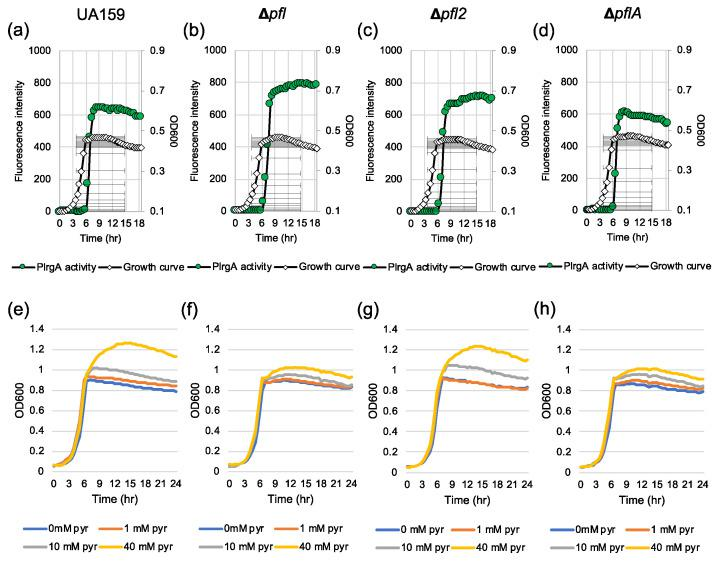 The contribution of the Pfl pathway to stationary phase P lrgA activity ( a – d ) and pyruvate uptake for regrowth ( e – h ). For measurement of P lrgA activation, the P lrgA-gfp reporter strain in the wild type UA159 ( a ), Δ pfl ( b ), Δ pfl2 ( c ) and Δ pflA ( d ) backgrounds, was grown in FMC11 medium. Relative gfp expression (green circle) and cell growth (OD 600 ; white diamond) were monitored during growth on a plate reader (see Materials and Methods for details). For measurement of growth in response to external pyruvate, wild type UA159 ( e ), Δ pfl ( f ), Δ pfl2 ( g ) and Δ pflA strains were grown in BHI, supplemented by different concentrations of pyruvate (0, 10 and 40 mM). Optical density at 600 nm was monitored every 30 min at 37 °C using the Bioscreen C lab system. The results are representative of three independent experiments.
