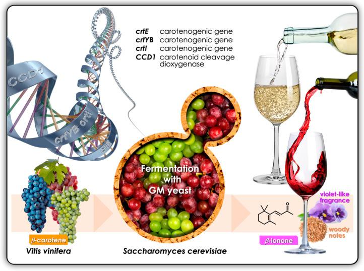 The development of 'yeast cell factories' for the production of the apocarotenoid, β-ionone. One approach would be to incorporate and express three heterologous carotenogenic genes ( crtE , crtYB and crtI ) and the CCD1 carotenoid cleavage dioxygenase gene in Saccharomyces cerevisiae .