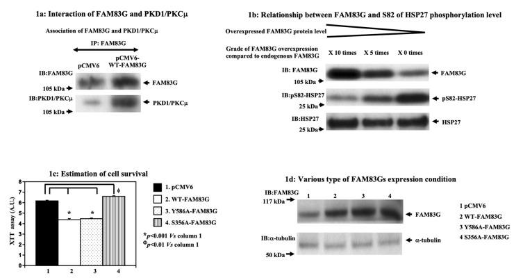 Effect of overexpressed FAM83G with or without S356 phosphorylation on cell numbers. ( a ) Interaction between FAM83G and PKD1/PKCμ; pCMV6 and pCMV6-wild type (WT)-FAM83G were expressed in CHO cells, FAM83G was immunoprecipitated, and then the immunoprecipitated FAM83G was immunoblotted with an antibody specific for FAM83G and PKD1/PKCμ. Endogenous FAM83G was co-immunoprecipitated with endogenous PKD1/PKCμ (pCMV6 lane, control sample). Overexpressed FAM83G was co-immunoprecipitated with increased PKD1/PKCμ levels (pCMV6-WT-FAM83G lane). The experiments were independently performed in triplicate. ( b ) Phosphorylation of the HSP27 S82 residue is inversely correlated with the levels of FAM83G expression. Upper panel: exogenously expressed FAM83G and endogenous FAM83G protein levels in CHO cells following immunoblotting (IB) with a FAM83G-specific antibody. Middle panel: the relative levels of S82-phosphorylated HSP27 are shown by IB with a specific anti-phospho-(S82) HSP27 antibody. Lower panel: relative HSP27 protein levels following IB with a specific anti-phospho-(S82) HSP27 antibody (strip and re-probe technique). The experiments were independently performed in triplicate. ( c ) Cell survival following the expression of pCMV6, WT-FAM83G, Y586A-FAM83G, and S356A-FAM83G in CHO cells; cell survival (relative number of live cells), as measured by the XTT assay. An empty pCMV6 plasmid transfected into the CHO cells acted as the control. The results of the statistical analyses, which are shown to the right of the bar graph, indicated that phosphorylation at S356 was required for WT-FAM83G overexpression to significantly reduce live cell numbers. The experiments were independently performed in triplicate. ( d ) Expression levels of WT-FAM83G and the FAM83G mutants; exogenously expressed FAM83G protein levels were approximately 7-fold greater than the endogenous FAM83G level. The relative levels of endogenous-tubulin are shown as loading controls. The experiments were independently performed in triplicate.