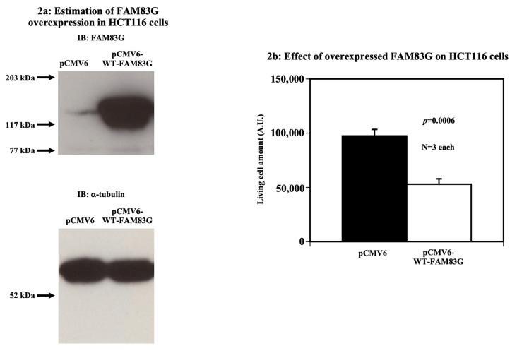 Effect of FAM83G overexpression on HCT116 cells. ( a ) Estimation of FAM83G overexpression in HCT116 cells. The amount of overexpressed wild type (WT)-FAM83G in HCT116 cells was ~10-fold greater than that of endogenous FAM83G (upper panel). α-tubulin blotting proved that equal protein amounts were loaded in each sample (lower panel). The experiments were independently performed in triplicate. ( b ) Overexpressed WT-FAM83G reduces the number of live HCT116 cells; relative live HCT116 cell numbers were quantified using the LIVE/DEAD cell assay following the expression of an empty pCMV6 vector (control) or pCMV6-WT-FAM83G. The results of the statistical analyses are shown: WT-FAM83G overexpression significantly reduced the number of live cells. The experiments were independently performed in triplicate.