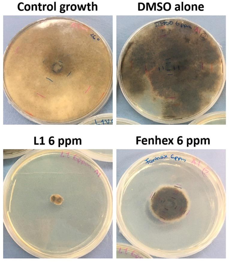 Antifungal effect against Botrytis cinerea A1 (at 26 °C) exerted by L1 in a dose-dependent manner (12 days of incubation). Inhibition of mycelial growth (by measuring the colony diameter) was observed in the presence of L1 (6 ppm) and compared with the commercial fungicide fenhexamid (6 ppm). Since both L1 and fenhexamid stock were dissolved in DMSO (vehicle), DMSO alone was also tested, adding the same concentration used with either L1 or fenhexamid in each case (0.045% v/v ). The figure shows a representative experiment, showing the fungal colony growth.