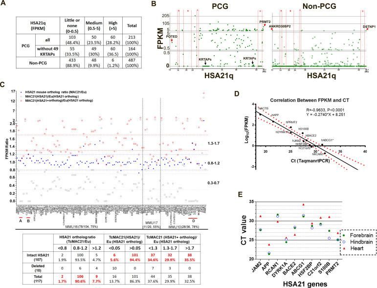 HSA21 expression pattern in P1 TcMAC21 brain. ( A ) RNA-Seq summary of HSA21 PCG and non-PCG transcript levels in TcMAC21. ( B ) Transcript levels of individual PCG and non-PCGs across the length of HSA21q in TcMAC21. ( C ) HSA21 dosage imbalance analysis of TcMAC21 among 117 HSA21 mouse orthologs whose FPKM ≥1 in Eu. Three expression values are shown: 1. the FPKM ratio of HSA21 PCG of TcMAC21 to its ortholog of Eu (gray open squares); 2. the FPKM ratio of HSA21 mouse ortholog of TcMAC21 to that of Eu (blue dot); 3. the FPKM ratio of total expression (HSA21 PCG + its mouse ortholog) of TcMAC21 to the HSA21 mouse ortholog of Eu (red circles). The positions of deleted regions are indicated in red. Eu and Ts65Dn littermates, n = 2 per group. See also Figure 2—source data 1 for expression levels (FPKM) of all HSA21 and its orthologs in Eu and TcMAC21. ( D ) RNA-Seq verification by Taqman RT-PCR. Correlation between CT value from Taqman RT-PCR and Log 10 (FPKM) from RNA-Seq for 10 HSA21q genes and mouse actin (mACTB) in TcMAC21. ( E ) Taqman assay comparing expression of 10 HSA21 genes between forebrain, hindbrain, and heart using the same amount of total RNA. The sample size of Taqman assay in D and E is that n = 2 for TcMAC21 and n = 3 for Eu (negative control). RNA-seq of TcMAC21 and Eu. HSA21 expression pattern in P1 TcMAC21 brain. Effects of HSA21 on gene expression of other mouse chromosomes analyzed by RNA-seq. HSA21 expression pattern in P1 TcMAC21 brain, source data.