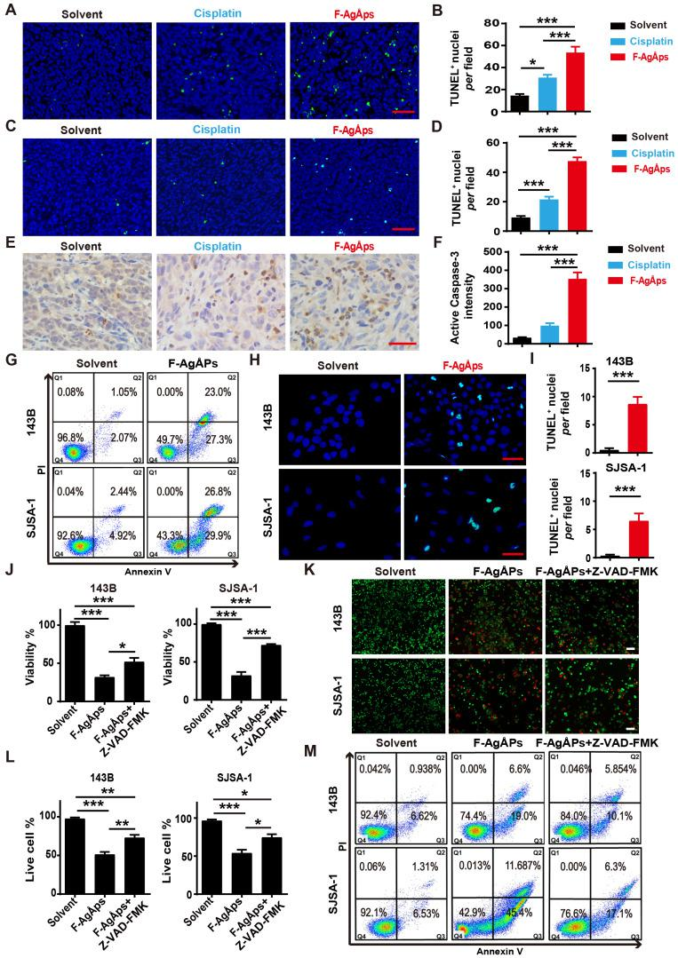 F-AgÅPs induce osteosarcoma cell death through the promotion of apoptosis. ( A-D ) Representative images of TUNEL staining and quantification of the apoptotic cell numbers in tumor sections from subcutaneous 143B ( A and B ) or orthotopic SJSA-1 ( C and D ) xenografts-bearing mice treated with solvent, F-AgÅPs or cisplatin for 21 days. Scale bar: 50 µm. n = 3 per group. ( E and F ) Representative active <t>caspase-3</t> staining images ( E ) and quantification of the mean staining intensity ( F ) in tumor sections from mice in ( A and B ). Scale bar: 50 µm. n = 3 per group. ( G ) Flow cytometric analysis of Annexin V-FITC/PI-stained 143B and SJSA-1 receiving different treatments for 24 h. The cells in Q1 to Q4 indicate dead/necrotic cells, late apoptotic/dead cells, early apoptotic cells and live cells, respectively. ( H and I ) Representative TUNEL staining images of 143B and SJSA-1 receiving different treatments for 24 h ( H ) and quantification of the apoptotic cell numbers ( I ). Scale bar: 50 µm. n = 3 per group. ( J ) CCK-8 analysis of the viability of 143B and SJSA-1 treated with solvent, F-AgÅPs or F-AgÅPs + Z-VAD-FMK for 24 h. n = 5 per group. ( K and L ) Representative images of calcein-AM/PI staining ( K ) and quantification of the percentages of live cells ( L ). Scale bar: 100 µm. n = 3 per group. ( M ) Flow cytometric analysis of Annexin V-FITC/PI-stained 143B and SJSA-1 receiving different treatments for 24 h. Data are shown as mean ± SD. * P