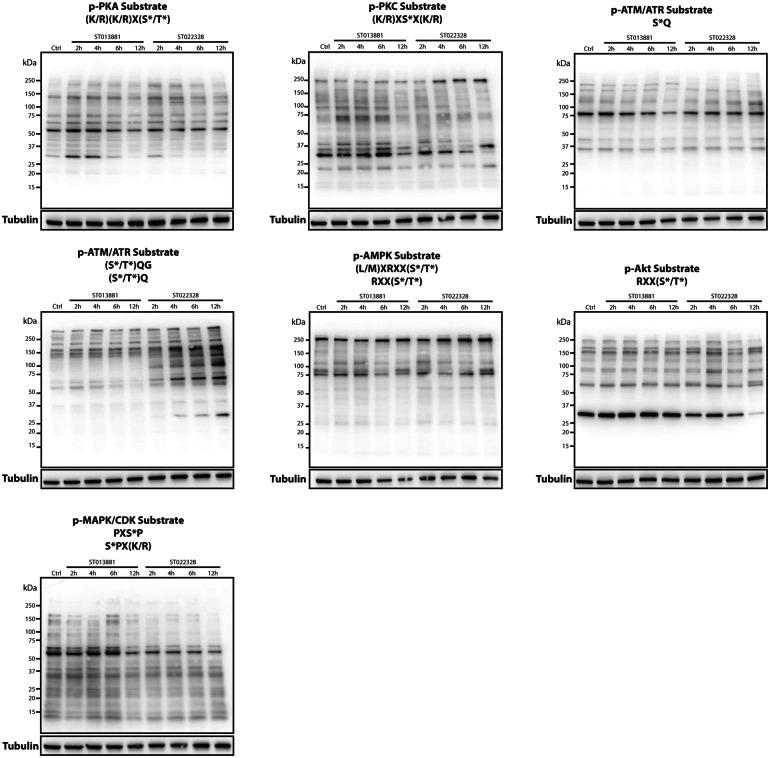 Results of analysis using the KinomeView kit upon treatment of IGR-N-91 with the compounds ST013881 and ST022328 identifies alterations in the PKA, PKC, ATM/ATR, AMPK, Akt, and MAPK/CDK signaling pathways. Immunoblotting was performed using 30 µg of protein lysates from the IGR-N-91 cell line treated with the ST013881 and ST022328 compounds for 2, 4, 6, and 12 h. Membranes were blocked and primary antibodies were diluted 1:1000 in <t>TBS-T.</t> Upon horseradish peroxidase (HRP)-coupled secondary antibody incubation, membranes were developed using the Clarity Western <t>ECL</t> Substrate (Bio-Rad). PKA Protein kinase A, PKC protein kinase C, ATM/ATR ataxia-telangiectasia mutated/ATM- and Rad3-related, AMPK 5′ AMP-activated protein kinase, Akt protein kinase B, MAPK/CDK mitogen-activated protein kinase/cyclin-dependent kinase