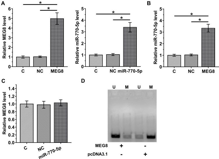 MEG8 upregulated the expression of miR-770-5p in CIHP-1 cells by reducing the methylation of miR-770-5p. To explore the interaction between MEG8 and miR-770-5p in DN, CIHP-1 cells were treated with 40 nM D-glucose for 48 h to mimic DN, followed by transfections of MEG8 expression vector or miR-770-5p mimic. Transfections were confirmed by RT-qPCR ( A ). The effects of MEG8 expression vector transfection on the expression of miR-770-5p ( B ), and the effects of overexpression of miR-770-5p on MEG8 ( C ) were also analyzed by RT-qPCR. MSP was performed to analyze the effects of overexpression of MEG8 on the methylation of miR-770-5p. In MSP, MSP primers were designed to clone methylated miR-770-5p gene and non-MSP primers were used to clone un-methylated miR-770-5p gene in cells transfected with MEG8 expression vector or empty pcDNA3.1 vector. PCR products were subjected to 1% agarose gel electrophoresis, followed by ethidium bromide staining ( D ). Mean ± SD values of 3 replicates were presented. U, un-methylation; M, methylation; * p