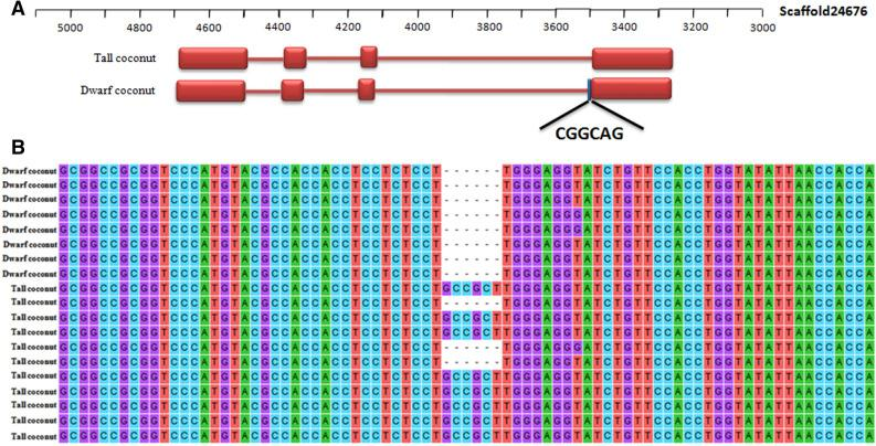 Alternative splicing of the FT gene. ( A ) Gene structure of two alternative splice transcripts of FT gene. ( B ) Detection of alternative splice of FT gene in 8 dwarf coconut and 11 tall coconut samples by cDNA PCR amplification and then sequence.