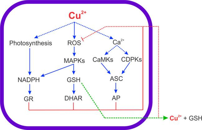 Scheme of copper-induced increase in ROS and intracellular calcium levels leading to activation of MAPK, CDPKs and CaMKs signaling pathways, which coupled to the increase in net photosynthesis, allow the increase in ASC, GSH and NADPH levels to cope with copper-induced oxidative stress in the marine alga U. compressa . Arrows in blue indicate activation, arrows in red indicate inhibition, the arrow in green indicates extrusion, and choppy arrows indicate results that do not belong to this study.