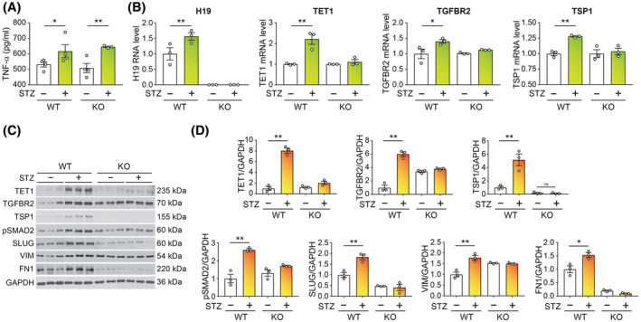 H19 depletion abrogates endothelial activation of TGF‐β signaling and EndMT marker expression in vivo. A, ELISA analysis of serum TNF‐α levels of WT and KO mice 2 weeks after initial injection of STZ (+) or vehicle (−), n =3‐ 4 animals per group. B, RT‐qPCR analysis of expression of H19, TET1, TGFBR2, and TSP1 in lung ECs collected from WT and KO mice 5 weeks following initial injection of STZ (+) or vehicle (−). n = 3 animals per group. C, Western blot analysis of indicated proteins in lung ECs collected from WT and KO mice 5 weeks following initial injection of STZ (+) or vehicle (−). n = 3 animals per group. D, Quantification of proteins in C. * P