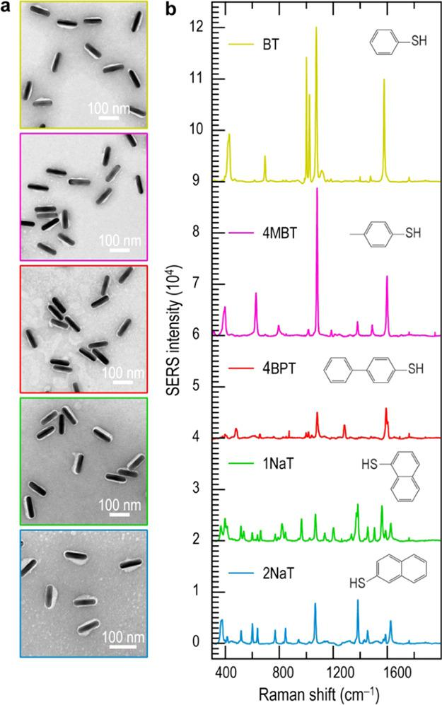 (a) TEM images of negatively stained Ag@RaR@PMA NRs, functionalized with five different RaR molecules. From top to bottom: benzenethiol (BT), 4-methylbenzenethiol (4MBT), biphenyl-4-thiol (4BPT), 1-naphthalenethiol (1NaT), and 2-naphthalenethiol (2NaT). (b) Corresponding SERS spectra for all five samples dispersed in water, at a particle concentration of (1.8 ± 0.4) × 10 11 NP/mL. All spectra were collected in the expanded scan mode, with an integration time of 10 s, using a 785 nm laser and a 10× objective (NA = 0.35) for excitation. The laser power was 3.43 mW for Ag@BT@PMA NR and 13.26 mW for the other samples. Insets show the molecular structures of the corresponding RaR molecules.