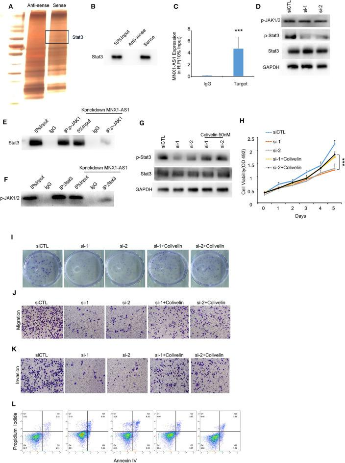 MNX1-AS1 interacts State3 and promotes phosphorylation of Stat3 by enhance the interaction between p-JAK and Stat3. (A) Silver staining of proteins bound to MNX1-AS1. The RNA pull-down assay was performed with MDA-MB-231 cell lysates. A specific band was identified as Stat3 by mass spectrometry. (B) Stat3 interacted with MNX1-AS1 was confirmed by RNA pull-down assay and Western blot. (C) MNX1-AS1 interacted with Stat3 was confirmed by RNA <t>immunoprecipitation</t> (RIP). Bar graphs represent the mean ± SD of experimental triplicates. (D) Silencing MNX1-AS1 reduced phosphorylation of Stat3 but had no effect on phosphorylation of JAK1/2 in MDA-MB-231 cells, as indicated by Western blot. (E,F) Silencing MNX1-AS1 reduced the interaction between Stat3 and p-JAK1/2. (G) Phosphorylation of Stat3 reduced by silencing MNX1-AS1 was rescued by Stat agonist colivelin 50 nM. (H) Viability of MDA-MB-231 cell o reduced by silencing MNX1-AS1 was rescued by Stat agonist colivelin 50 nM. Bar graphs represent the mean ± SD of experimental triplicates. (I) Colony formation of MDA-MB-231 cell reduced by silencing MNX1-AS1 was rescued by Stat agonist colivelin 50 nM. (J) Migration of MDA-MB-231 cell reduced by silencing MNX1-AS1 was rescued by Stat agonist colivelin 50 nM. (K) Invasion of MDA-MB-231 cell reduced by silencing MNX1-AS1 was rescued by Stat agonist colivelin 50 nM. (L) Apoptosis of MDA-MB-231 cell induced by silencing MNX1-AS1 was rescued by Stat agonist colivelin 50 nM. *** P
