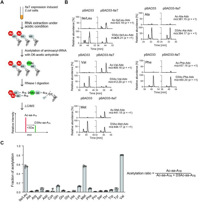 Acetylation of Ile-tRNA Ile , Val-tRNA Val and Met-tRNA Met isoacceptors in vivo . ( A ) Schematic diagram of detection and quantification of <t>acetyl-aminoacyl-tRNAs,</t> produced by the action of ItaT in vivo (See details in Materials and Methods). ( B ) LC/MS analysis of <t>RNase</t> I-digested fragments of acetyl-aminoacyl-tRNAs. Identification of the molecular masses corresponding to Ac-Ile/Leu-A76 (acetyl-isoleucyl/leucyl-adenosine, m/z 423.19), Ac-Val-A76 (acetyl-valyl-adenosine, m / z 409.18) and Ac-Met-A76(acetyl-methionyl-adenosine, m / z 441.15) derived from Ac-Ile/Leu-tRNA Ile/Leu , Ac-Val-tRNA Val and Ac-Met-tRNA Met , respectively, produced by the action of ItaT in vivo . Ac-Ala-A76 (acetyl-alanyl-adenosine) and Ac-Phe-A76 (acetyl-phenylalanyl-adenosine) were not detected. Identification of the molecular masses corresponding to D 3 Ac-Ile/Leu-A76 ( m/z 426.21), D 3 Ac-Val-A76 ( m/z 412.20), D 3 Ac-Met-A76 ( m/z 444.17), D 3 Ac-Ala-A76 ( m/z 384.17) and D 3 Ac-Phe-A76 ( m/z 460.20), derived from the in vitro aminoacyl-tRNAs chemically acetylated by acetic anhydride-D 6 . The two observed peaks in each Ac-aa-A76 represent structural isomers of 3′-acetyl-aminoacyl-A76 and 2′-acetyl-aminoacyl-A76, as observed for the separation of 3′-O-methyl and 2′-O-methyl nucleosides ( 38 ). ( C ) Quantification of the acetylation of aminoacyl-tRNAs by the action of ItaT in vivo . The fractions of individual acetylated aminoacyl-tRNAs by ItaT in vivo were estimated as the ratio of the amount of Ac-aa-A76 to the sum of the amounts of Ac-aa-A76 and D 3 Ac-aa-A76. The bars in the graphs are SD of more than three independent experiments.