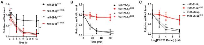 3′-terminal 2′Ome of human miR-21-5p increases its stability. ( A ) The half-life of miR-21-5p and miR-26-5p in A549 cells and A549KO (HENMT1-knockout) cells. (B, C) Direct degradation of synthetic miR-21-5p/miR-21-5p CH3 and miR-26-5p/miR-26-5p CH3 by PNPT1 recombination protein in a time-dependent ( B ) and concentration-dependent ( C ) manner.