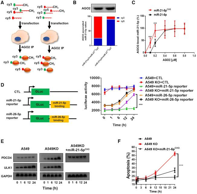 3′-Terminal 2′Ome of human miR-21-5p increases its association with AGO2 complex and inhibition on PDCD4 expression. ( A ) Depict of experimental strategy of assaying binding affinity of miR-21-5p or miR-21-5p CH3 with AGO2 complex using Cy3- or Cy5-labeled miRNAs. ( B ) Binding affinity of miR-21-5p and miR-21-5p CH3 with AGO2 complex detected by fluorescence intensity measurement. ( C ) Kinetics of binding of miR-21-5p and miR-21-5p CH3 with AGO2 detected by microscale thermophoresis. ( D ) Binding of miR-21-5p or miR-26-5p with AGO2 detected by the luciferase activity in A549 or A549KO cells transfected with miR-21-5p or miR-26-5p reporter plasmid. ( E ) PDCD4 and ULK1 protein level in A549 and A549KO cells at different time points after serum depletion. ( F ) Apoptosis of A549 and A549KO cells induced by serum depletion.