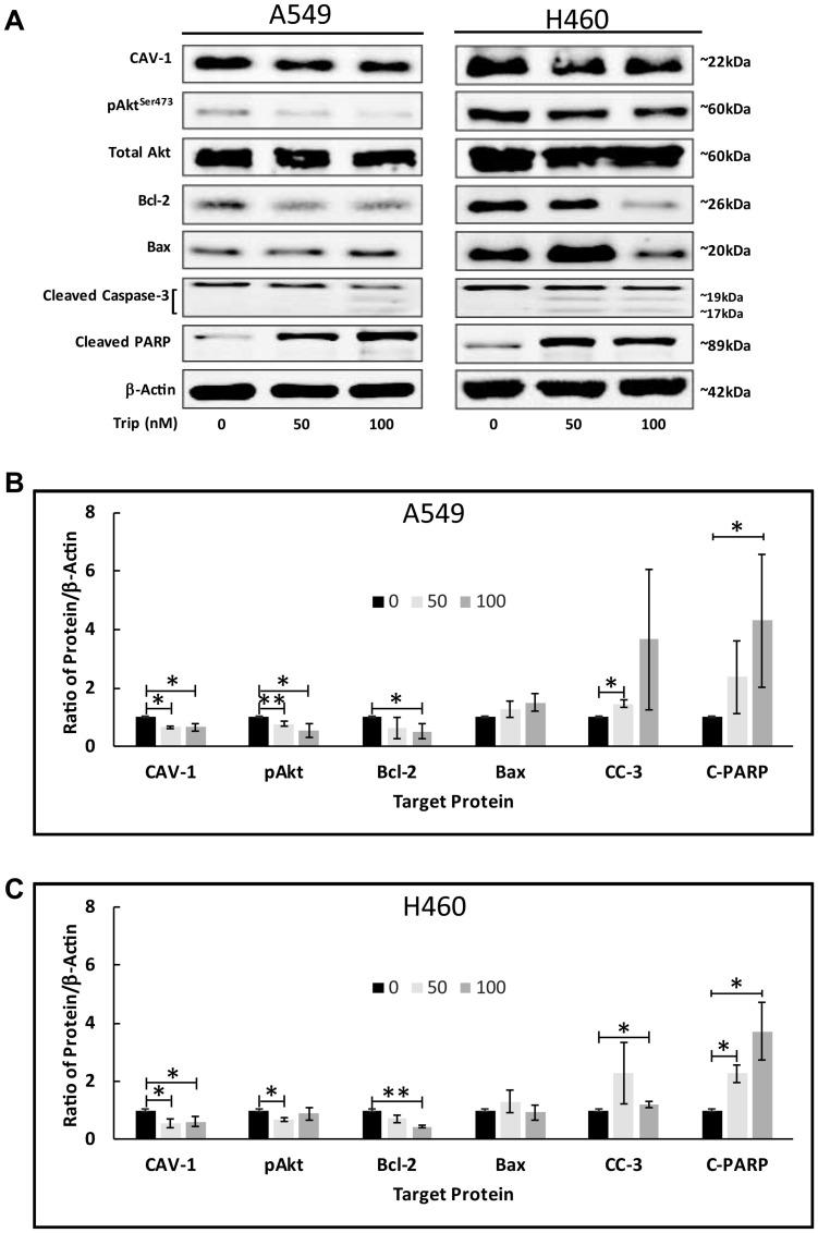 TL induced Akt activation in NSCLC. A549 and NCI-H460 cells were treated for 18–24 h ± 50 nM/100 nM TL. Representative immunoblots ( A ) and quantitation ( B , C ) for CAV-1, pAkt (Ser473), Total Akt, Bcl-2, Bax, Cleaved <t>caspase-3</t> (CC-3) and Cleaved-PARP (C-PARP) protein expression. Protein quantity was normalized to β-Actin. Data are presented as mean ± SD. n = 3–4. * indicates significantly different ( p