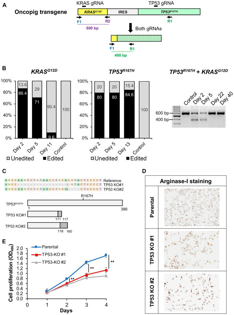 CRISPR/Cas9-mediated disruption of Oncopig KRAS G12D and TP53 R167H transgenes. ( A ) Schematic representation of the Oncopig transgene showing gRNA target sites and primers used for PCR. IRES, Internal ribosome entry site. ( B ) KRAS G12D and TP53 R167H editing efficiencies at multiple time points post transfection with Cas9 and gRNAs. ( C ) Frameshift mutations resulting in protein truncation for 2 Oncopig TP53 R167H KO HCC cell lines developed via single cell clone isolation and screening. Dashed line marks the cleavage position, and dashed grey boxes represent nucleotide deletions. Dotted regions represent frameshifts in predicted protein sequences. ( D ) Positive arginase-1 staining (brown) of parental and TP53 R167H KO cell lines (scale bar, 300 μm). ( E ) Cellular proliferation of Oncopig parental and TP53 R167H KO HCC cell lines. Values represent mean ± S. D. ( n ≥ 3). ** indicates P