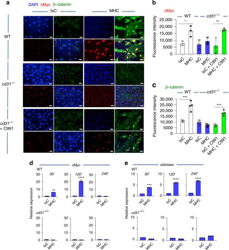CD31 signaling promotes β-catenin nuclear translocation and upregulates cMyc expression. WT and cd31 −/− EC monolayers were stimulated by MHC antibody-ligation or treated with an Isotype-matched control and secondary antibodies (2 h). Some cd31 −/− ECs were also treated with an Akt activator (500 nM, 3 h) prior to antibody stimulation. Vehicle was added in the untreated cultures (IsC and MHC ligation). a β-catenin and cMyc expression were determined by immunofluorescent antibody staining and wide-field microscopy. The nucleus was stained with DAPI. The mean fluorescence intensity of cMyc and β-catenin measured in 500 cells in three independent experiments is shown in ( b , c ), respectively. Scale bar = 40 μm. Data are mean ± SD. one-way Anova with Tuckey post-hoc test. b WT IsC vs WT MHC; c WT IsC vs WT MHC *** p = 0.0008, cd31 − / − IsC + C991 vs cd31 − / − MHC + C991 *** p = 0.0002. d , e : cMyc ( d ) and aldolase ( e ) gene transcription by WT (upper panels) and cd31 −/− (lower panels) EC at the indicated time points. n = 3 biologically independent samples, N = 2 independent experiments. Error bars represent SD. One-way Anova with Tuckey post-hoc test or T -test ( d , e ). d WT IsC 30′ vs WT MHC 30′ ** p = 0.003, WT IsC 120′ vs WT MHC 120′ **** p