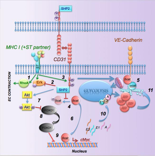 A model for the <t>CD31-induced</t> barrier response. MHC triggering induces RhoA and Erk activation and EC contraction (1). Erk phosphorylation is modulated by CD31 signals, possibly via SHP-2 (2). MHC signals induce CD31 ITIM phosphorylation and SHP-2 recruitment. SHP-2 prevents the phosphorylation of b-catenin (5) and VE-cadherin (6), thus stabilizing the junctional complex. In addition, dephosphorylated b-catenin can transfer to the nucleus where it induces cMyc transcription. In parallel, SHP-2 induces AKT activation which in turn inhibits FoxO1 nuclear translocation, thus preventing inhibition of cMyc transcription. This leads to enhanced transcription of glycolysis enzymes and enhanced glycolysis required for actin remodeling and maintenance of junctional anchorage.