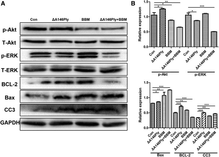Intracellular Signaling Pathway Regulation by the Combination of ΔA146Ply and BBM (A) MDA-MB-231 cells were incubated with ΔA146Ply (20 μg/mL), BBM (5 μM), or their combination for 48 h. Intracellular protein levels were determined by western blot (WB) analysis. Representative bands from three independent experiments with consistent results are shown. (B) Graphs show mean (±SD) protein levels normalized to total (T)-Akt (for p-Akt), T-ERK (for p-ERK), or GAPDH (for BCL-2, Bax, and CC3) (n = 3). Statistical analysis was performed by Student's t test. ∗p