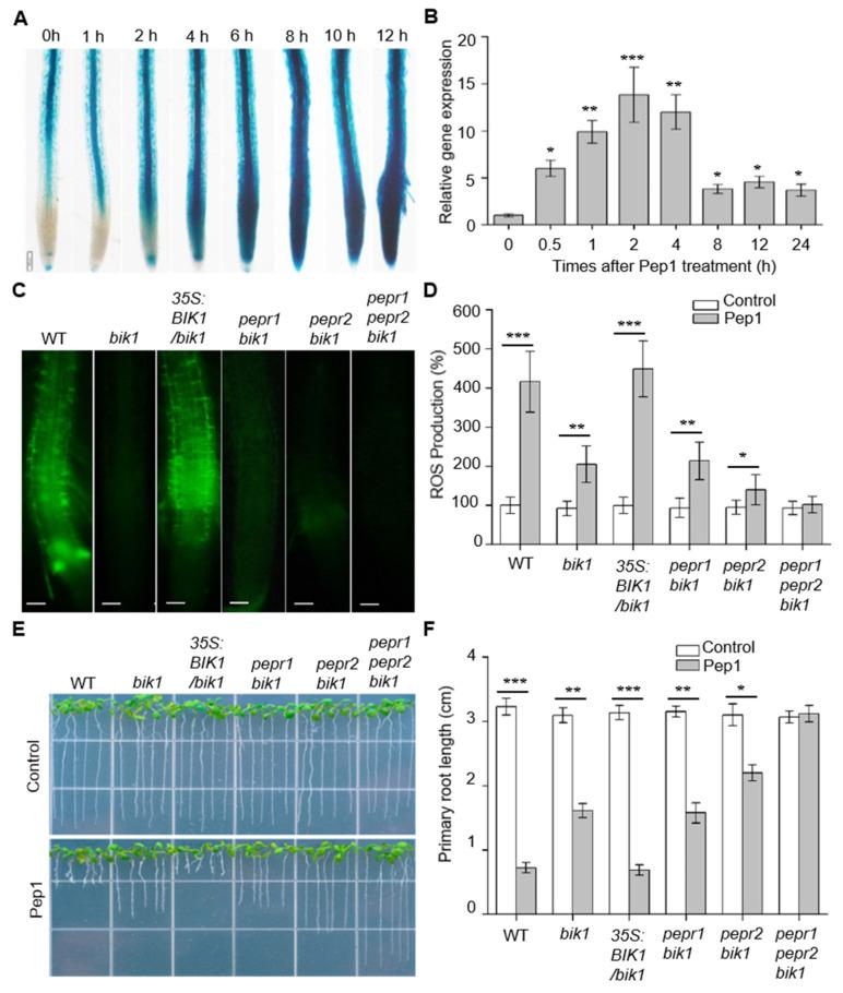 BIK1 is required to regulate Pep1-induced ROS production and root growth inhibition. ( A ) Histochemical staining of GUS activity in the roots of transgenic plants harboring proBIK1:GUS upon exposure to Pep1. The six-day-old plants were transferred on half-strength MS agar medium, supplemented with 1 μM Pep1 for 1, 2, 4, 6, 8, 10, and 12 h, respectively. The experiments were repeated three times with similar observations. Bars = 200 μm. ( B ) qRT-PCR analysis of mRNA levels of BIK1 in the wild type (WT) roots. The two-week-old plants were incubated in half-strength MS liquid medium, supplemented with 1 μM Pep1 for 0.5, 1, 2, 4, 8, 12, and 24 h, respectively. The expression level of control (0 h) was set as 1.0 and the Pep1 treatment levels were normalized to the control level. Data are means ± SD ( n = 3). ( C ) H 2 DCF-DA staining of H 2 O 2 in WT, bik1 , 35S:BIK1 / bik1, pepr1 bik1 , pepr2 bik1, and pepr1 pepr2 bik1 roots. Six-day-old seedlings were incubated in half-strength MS liquid medium, supplemented with 1 μM Pep1 for 18 h. The roots were stained with 30 μM H 2 DCF-DA solution for 10 min and photographed under fluorescence microscopy (Olympus, BX53). Bars = 100 μm. ( D ) The statistical analysis of ROS production, as indicated in ( C ). Data are means ± SD from three independent experiments. ( n = 30). The relative ROS production of each treatment was normalized to control of wild type roots (100%). ( E ) The growth phenotype of WT, bik1 , 35S:BIK1 / bik1, pepr1 bik1 , pepr2 bik1, and pepr1 pepr2 bik1 roots. The three-day-old seedlings were transplanted on half-strength MS agar medium supplemented with or without (control) 100 nM Pep1 for six days. ( F ) The statistical analysis of the primary root length, as indicated in ( E ). Data are means ± SD from three independent experiments ( n = 15). Asterisks in ( B , D , F ) indicate statistically significant differences compared with the untreated controls in each genotype (Tukey's test, * p