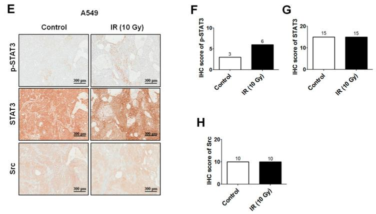 IR induces RIP1 expression and activates epithelial-mesenchymal transition (EMT) in vitro/in vivo. ( A ) Lysates from A549 cells treated with IR (10 Gy) were subjected to immunoblotting to examine the expression levels of RIP1, MMP-2, MMP-9, EGFR, p-EGFR, Src, p-Src, STAT3 p-STAT3, vimentin and β-actin (loading control). Representative data from triplicate experiments are shown. ( B ) A549 cells were exposed to IR (10 Gy) and treated with gefitinib (EGFR inhibitor, 10 µM). Immunoblotting was applied to examine the expression of RIP1, MMP-2, MMP-9, EGFR, p-EGFR, Src, p-Src, STAT3, p-STAT3, vimentin and β-actin (loading control). Representative data from triplicate experiments are shown. ( C , D ) A549 cells subjected to IR (10 Gy) were treated with Src (20 µM) or STAT3 inhibitor (20 µM) for the indicated periods and Western blot analyses for RIP1, vimentin, MMP-2, MMP-9, Src, p-Src, STAT3, p-STAT3 and β-actin (loading control) were conducted. Data are representative of triplicate experiments. (***; p