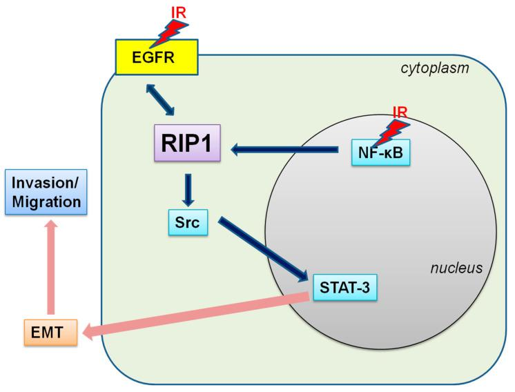 Scheme of the potential IR-induced EGFR/NF-κB–RIP1–Src–STAT3–EMT pathway.