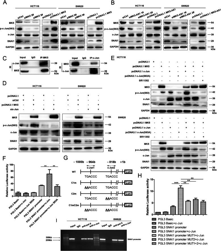 MK5 upregulated SNAI1 expression by phosphorylating c-Jun. a. Immunoblotting was confirmed the protein levels of c-Jun, p-c-Jun(S63) and SNAI1 after MK5 overexpression and silencing in HCT116 and SW620 cells. b. Immunoblotting analysis of MK5, c-Jun, p-c-Jun(S63) and SNAI1 after MK5-AS1 overexpression and knockdown in HCT116 and SW620 cells. c. Coimmunoprecipitation was used to identify interaction between MK5 and c-Jun in HCT116 cells. d. After cotransfection with pcDNA3.1 MK5, si-c-Jun or control siRNA, the proteins levels of MK5, c-Jun, p-c-Jun (S63) and SNAI1 were determined by immunoblotting. e. Immunoblotting of MK5, c-Jun, p-c-Jun(S63) and SNAI1 proteins levels from pcDNA3.1 MK5, pcDNA3.1 c-Jun, pcDNA3.1 c-Jun (S63A) transfection samples treated with DMSO or c-Jun phosphorylation inhibitor SR11302 in HCT116 and SW620 cells. f. Dual luciferase reporter plasmids containing SNAI1 promoter or pGL3 basic were co-transfected into HCT116 cells with c-Jun or mutant c-Jun (S63A) in parallel. g. Dual luciferase reporter plasmids of SNAI1 promoter were designed to contain c-Jun binding sequences or not. h. Dual luciferase reporter plasmids containing SNAI1 promoter, SNAI1 promoter MUT or pGL3 basic were cotransfected into HCT116 cells with c-Jun plasmid in parallel. i. Identification of the c-Jun binding sequences in SNAI1 promoters by ChIP-PCR. Data were shown as mean ± SD for three independent experiments. * P