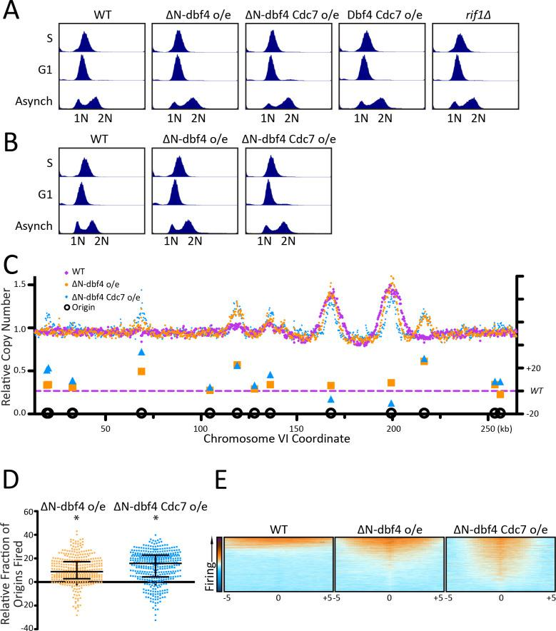 DDK overexpression increases origin activation across the genome. ( A ) The DNA content of the arrested cells in Figure 2A and B was measured using flow cytometry. ( B ) The DNA content of the arrested cells in Figure 2C was measured using flow cytometry. ( C ) Relative copy number for the entire Chromosome VI is shown. WT is in purple, ∆N-dbf4 o/e is in orange, and ∆N-dbf4 Cdc7 o/e is in blue, relating to Figure 2C . ( D ) The relative copy number for 1 kb around the midpoint of each origin was calculated for each strain. WT is in purple, ∆N-dbf4 o/e is in orange, and ∆ N-dbf4 Cdc7 o/e is in blue. For each peak, the WT value was subtracted from the value of the over-expression strain and multiplied by 100. Median and interquartile range are plotted over the distribution, and * indicates a significant difference by one-sided Wilcoxon signed rank test: N-dbf4 o/e (p