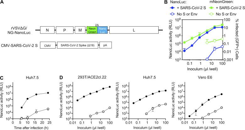 VSV-based SARS-CoV-2 pseudotyped viruses . (A) Schematic representation of the rVSVΔG/NG-NanoLuc genome in which G-coding sequences were replaced by an mNeonGreen-2A-NanoLuc luciferase reporter cassette. Infectious virus particles were generated by passaging G complemented rVSVΔG/NG-NanoLuc virus stocks through 293T cells transfected with a plasmid encoding SARS-CoV-2 SΔ19. (B) Infectivity of pseudotyped rVSVΔG/NG-NanoLuc particles on Huh7.5 cells was quantified by measuring luciferase activity (RLU) or the percentage of GFP-positive cells. Mean and range from two technical replicates are plotted. Virus particles generated by passage through cells that were not transfected with SARS-CoV-2 S were used as a control. (C) NanoLuc luciferase activity (RLU) in Huh7.5 cells measured at various times after infection with pseudotyped rVSVΔG/NG-NanoLuc particles. Mean and range from two technical replicates are plotted. (D) Infectivity of pseudotyped rVSVΔG/NG-NanoLuc particles on the indicated cell lines. Infectivity was quantified by measuring NanoLuc luciferase activity (RLU) following infection of cells in 96-well plates with the indicated volumes of pseudotyped viruses. Mean and range deviation from two technical replicates are shown.