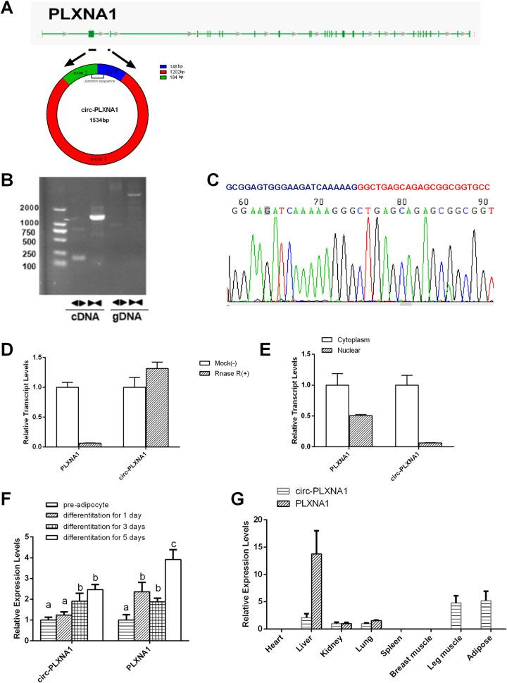 Characterization of circ-PLXNA1 in duck adipocyte. (A) The genomic loci of circ-PLXNA1 in PLXNA1 gene. (B) The validation strategy for circ-PLXNA1. Clear single bands were amplified from the cDNA of duck pre-adipocyte using divergent primers. Clear single bands could not be amplified from gDNA. (C) Sanger-Seq validated the head-to-tail junction region of duck pre-adipocyte circ-PLXNA1. (D) qRT–PCR result for the abundance of circ-PLXNA1 and PLXNA1 mRNA in duck adipocyte treated with RNase R. (E) The subcellular distribution of circ-PLXNA1. Nuclear and cytoplasmic RNA was extracted, and junction primers were used for circ-PLXNA1 detection. (F) The transcripts level of circ-PLXNA1 and PLXNA1 during duck adipocyte differentiation. The different letters show significant differences in common gene, P