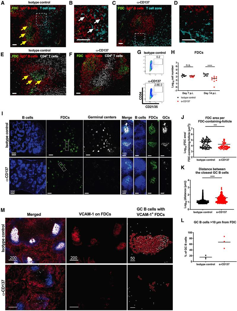 Anti-CD137 mAb Results in Disorganization of B Cell Follicle Architecture in the Spleen Four-week-old WT C57BL/6 male mice were inoculated with 10 3 FFU of CHIKV. At 2 dpi, 400 μg of agonistic anti-CD137 or isotype control mAb was administered by an i.p. route. Spleens were harvested at 6 dpi (A–D), 7 dpi (E and F), and 14 dpi (I–M) for imaging. (A–D) FDCs (green) were stained for <t>CD21/35;</t> IgD + B cells (red); and T cell zone (turquoise), CCL21. (B and D) Insets of the respective dotted boxes. (E and F) FDCs (green) were stained for CD21/35; IgD + B cells (red); and CD4 + T cells (snow). White scale bars indicate 50 μm. Yellow arrows indicate IgD + B cells surrounding FDCs, and white arrows indicate IgD + B cells at the CCL21 + T cell zone border. (G and H) The number of CD45 − CD21/35 + CD54 + FDCs in the spleen at 7 and 14 dpi was analyzed by flow cytometry. (G) Representative flow cytometry dot plots of FDCs are shown. (I) B cells (blue) were stained for B220; FDCs (green), CD21/35; and GC B cells (snow), GL7. White scale bars indicate 500 μm or 100 μm (insets). Each symbol represents an individual FDC-containing follicle (J), GC B cell (K), or spleen (L), and bars indicate mean values. Quantification was performed for FDC area per FDC-containing-follicle (J), distance between the closest GC B cells (K), and GC B cells greater than 10 μm from an FDC (L). (M) Left and middle: FDCs (blue) were stained for CD21/35; VCAM-1 (red); merge (white). (M) Right: GC B cells (white) were stained for GL7; VCAM-1 + FDCs (red). White scale bars indicate 200 μm or 50 μm (insets). The images are representative of 3 spleens per group from 2 independent experiments (Mann-Whitney test: ***p