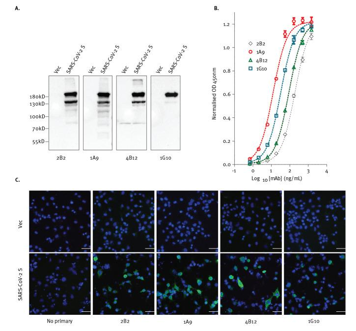 Antibodies expected to target SARS-CoV-2 S protein, (A) hybridise to the denatured protein in western blot, (B) bind to the protein in ELISA and (C) recognise cells expressing the protein as shown by immunofluorescence